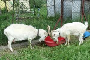 W Bieżuniu zaplątane kozy dwie, w Płośnicy tylko kot