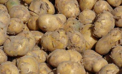 Odmiany zalecane w 2018 roku. Ziemniak jadalny