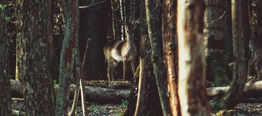 Leśne spotkanie z łanią.