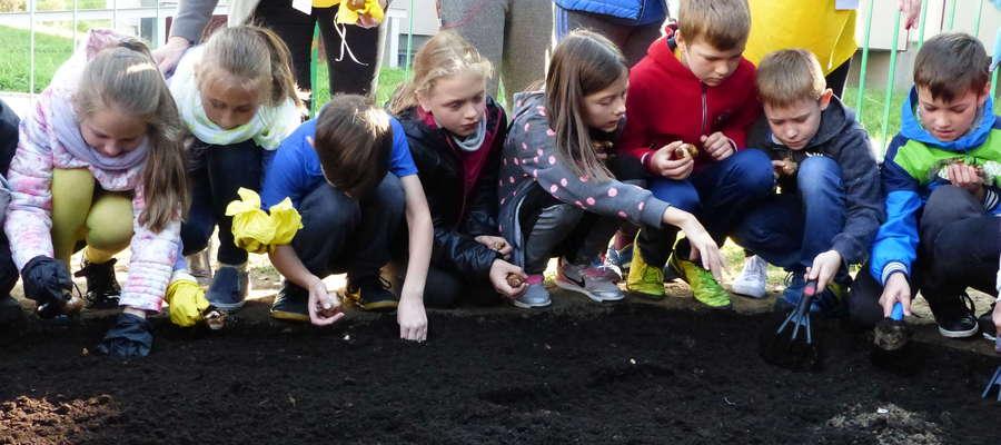 Także młodzież pomaga. W październiku sześćset cebulek żonkili posadzili uczniowie przed SP nr 11, zostaną przekazane na akcję