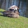 Zdjęcie Tygodnia. Para kaczek krzyżówek