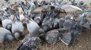 """Gołębie niszczą ludziom życie. """"Brud, smród i bezsilność. Tak możemy określić całą tę sytuację"""""""