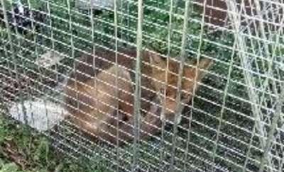 Lis na posesji pod Olsztynem. Interweniowała straż miejska