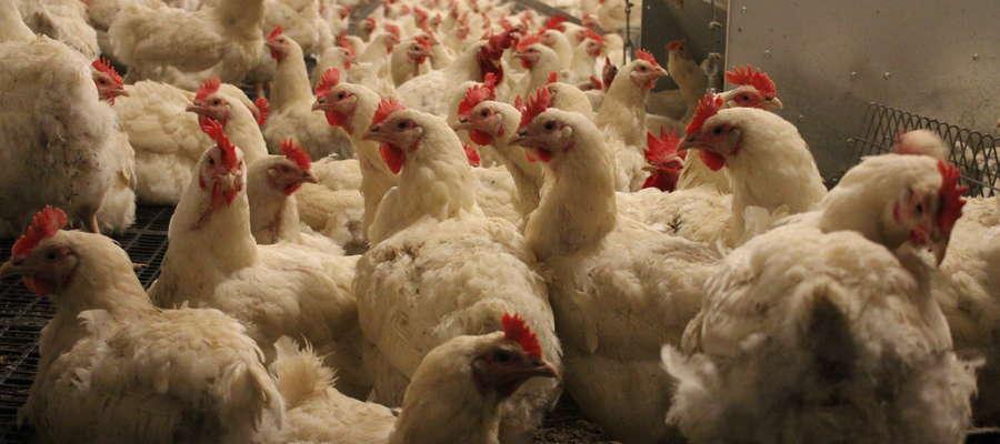 Na fermach drobiu w powiecie żuromińskim znajduje się ponad 19 mln sztuk ptaków