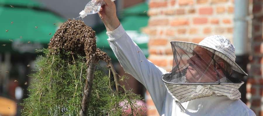Rój pszczół zagnieździł się na krzewach przy starym ratuszu, straż miejska odgrodziła teren do przyjazdu pszczelarza który zebrał rój i zawiózł do ula./17 czerwiec 2010/