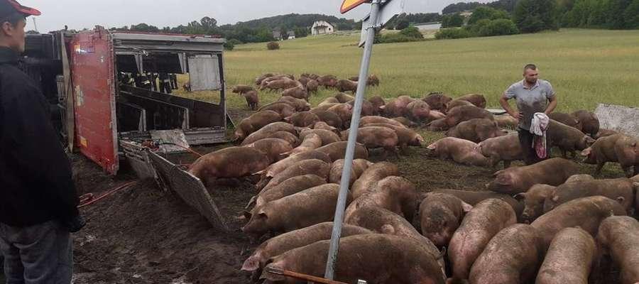Z naczepy tira wydostało się 180 świń
