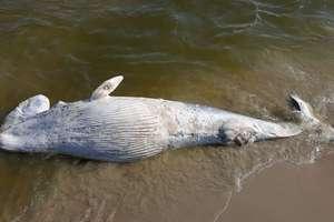 Martwy wieloryb znaleziony na plaży na Mierzei Wiślanej [film]