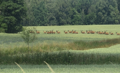 Zdjęcie Tygodnia. Stado jeleni w okolicach Żardyn