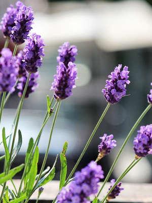 Lawenda w ogrodzie – o czym musisz pamiętać? Bricomarche radzi