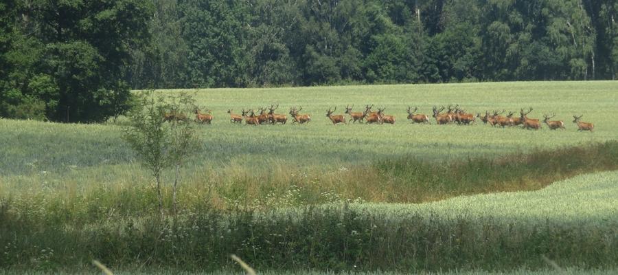 Stado jeleni w okolicach Żardyn (miedzy Lejdami a Posłuszem).