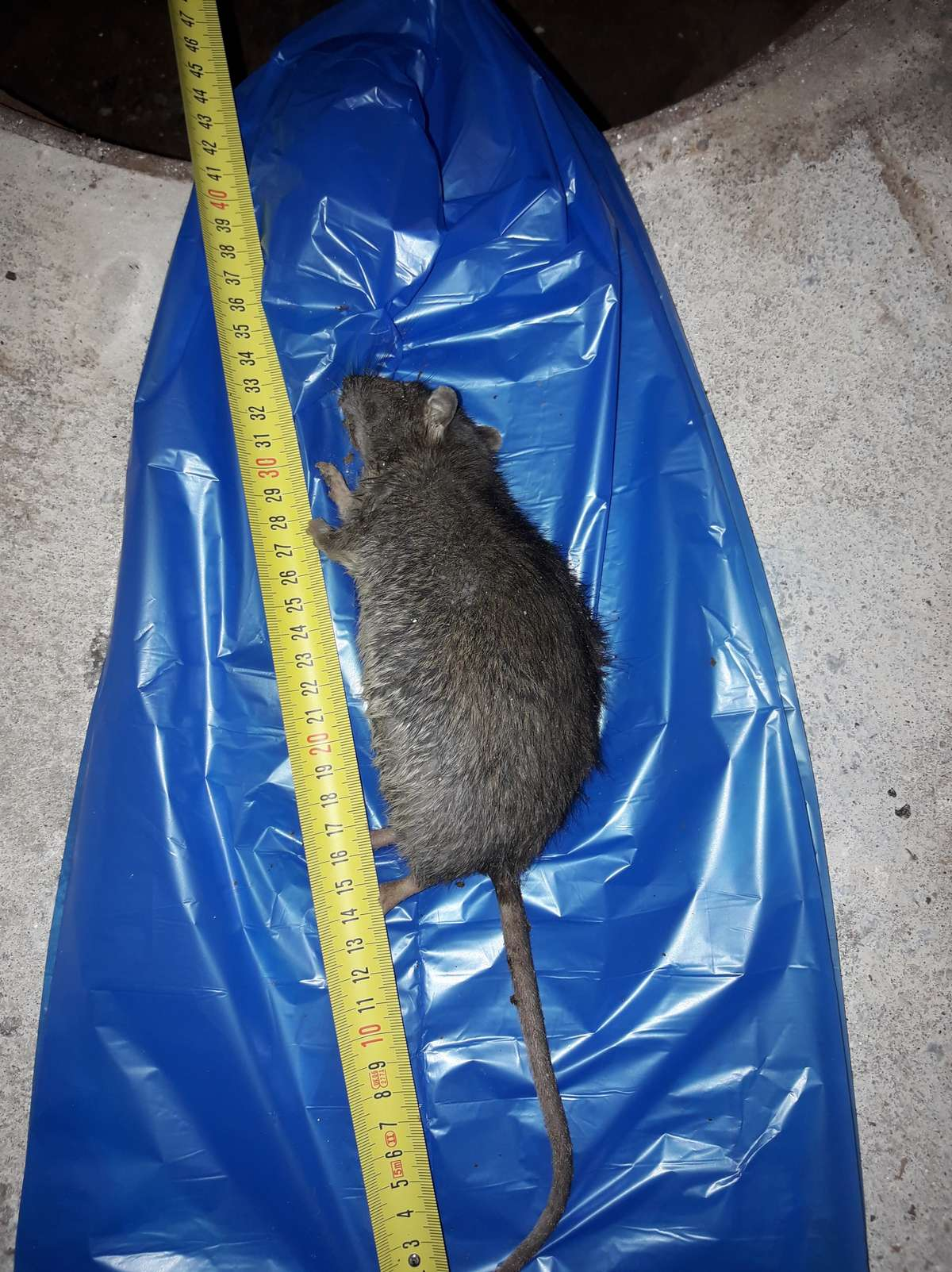 Mieszkanka Elbląga mieszka w domu ze szczurami