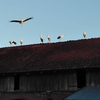 Zdjęcie Tygodnia. Bociany na dachu