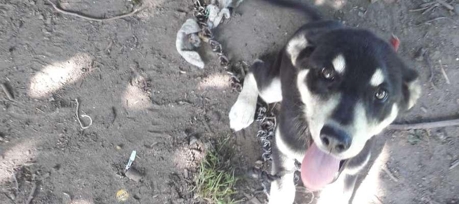 Trzymiesięcznego psa mężczyzna przyczepił łańcuchem do budy w taki sposób, że plastykowa obroża zaczęła ranić mu szyję