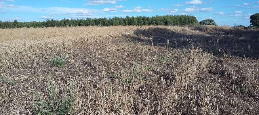 Susza występuje na ponad 60 % gruntów ornych