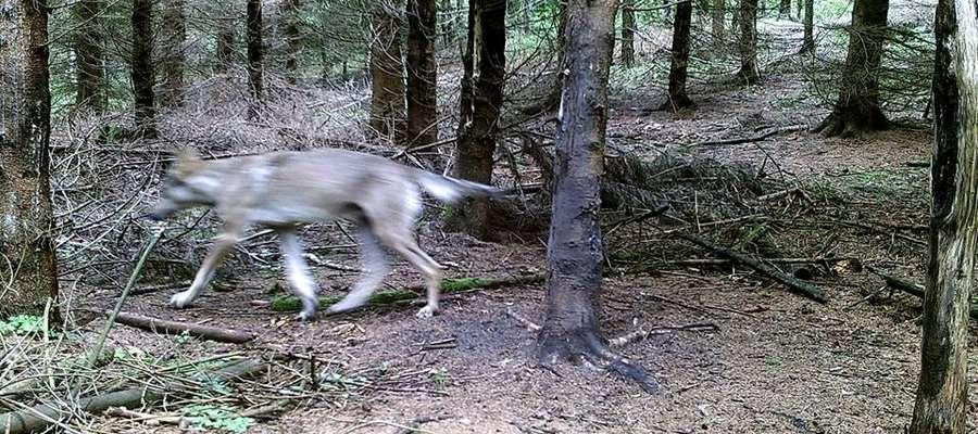 Wilki coraz częściej są widziane w naszych lasach