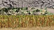 Pomoc suszowa – uprawy rolne