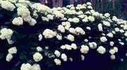 Hortensjowy ogród w warmińskich lasach