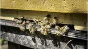 Dobre Miasto: gmina przyjazna pszczołom