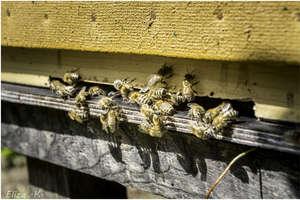Gietrwałd: gmina przyjazna pszczołom
