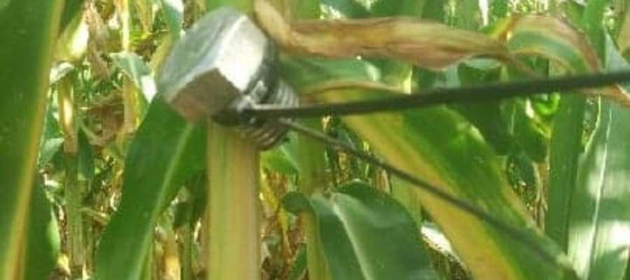 Pułapki na polach kukurydzy są zmorą rolników