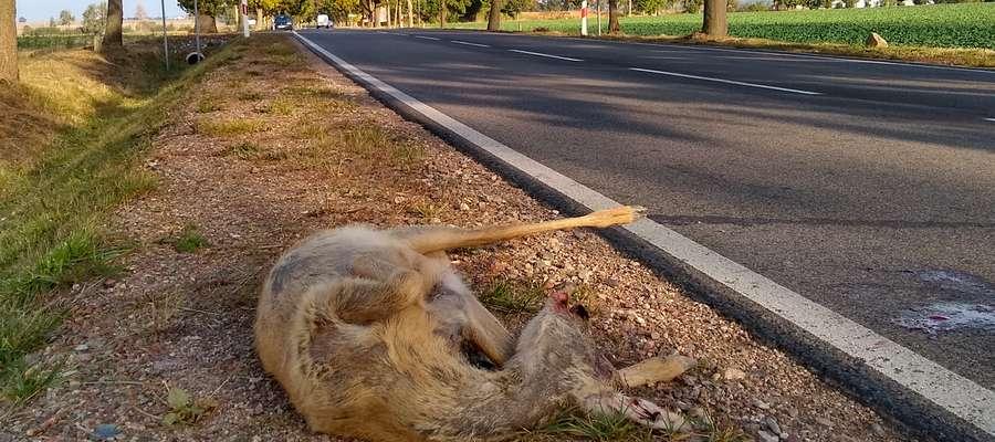 Gdy dojdzie już do wypadku ze zwierzyną, to nie pozostawiajmy potrąconego zwierzęcia samemu sobie