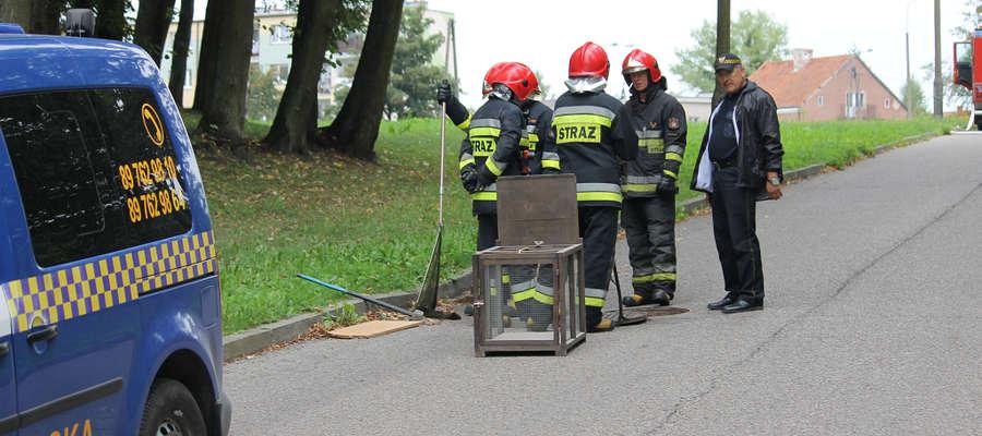 Strażacy starali się odłowić wydrę z młodymi, która dostała się do studzienki instalacji deszczowej.