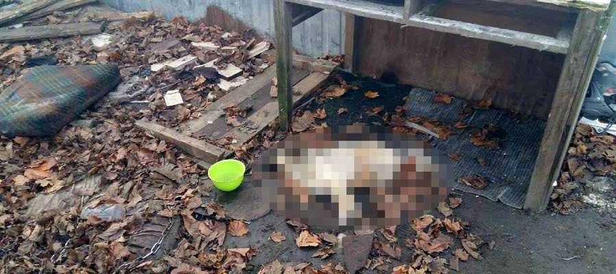 Pies na łańcuchu konał z głodu? Jest policyjne śledztwo (uwaga, drastyczne zdjęcie)