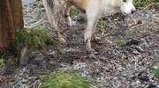 Pies cierpiał we wnykach kłusowników. Wycie słychać było kilka dni