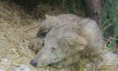 Kolejny wilk trafił na rehabilitację do ośrodka w Napromku