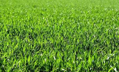 Naprawdę warto kontraktować trawy nasienne