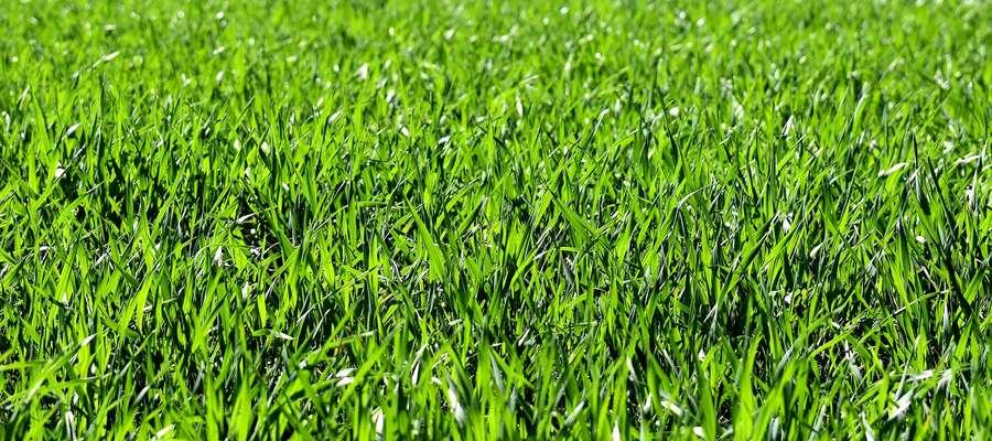 Według danych z Unii Europejskiej od dwóch lat obszar uprawy traw nasiennych w Polsce stale się powiększa