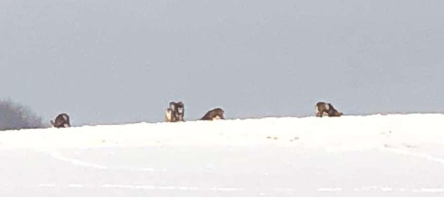 Muflony przechadzające się po Wzgórzach Dylewskich sfotografował nasz czytelnik