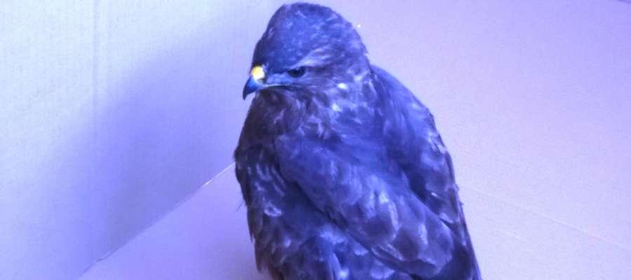 Ptak z uszkodzonym skrzydłem leżał przy ulicy Działdowskiej