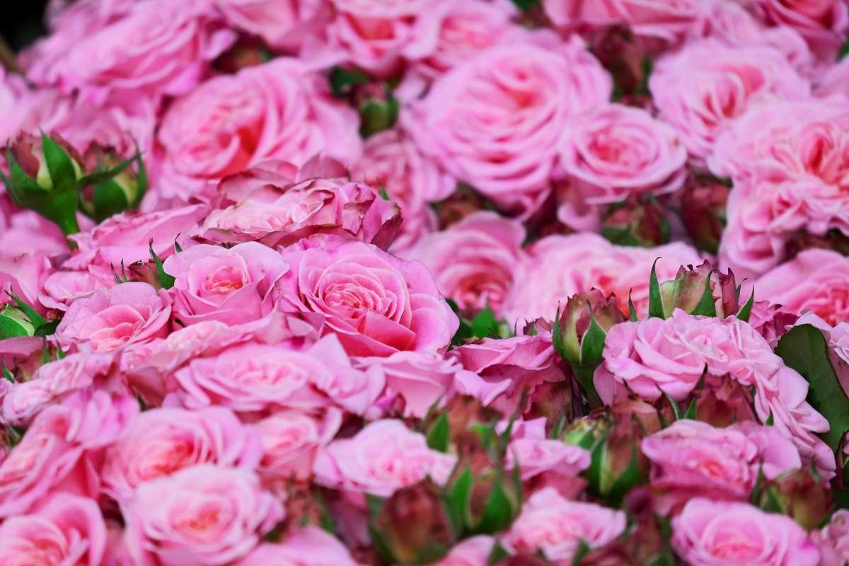 Tniemy róże na wiosnę - full image