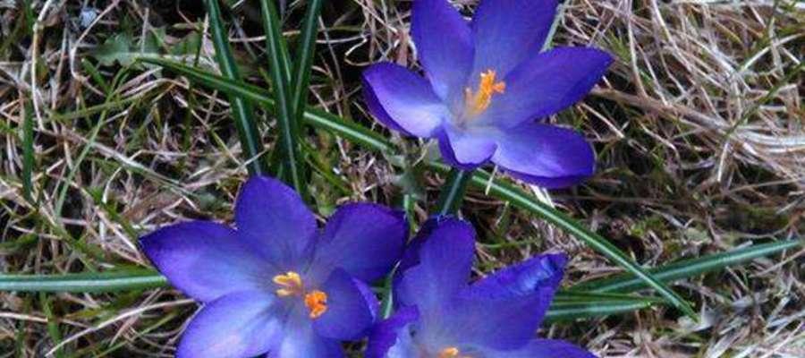 Kwitnące, wiosenne krokusy