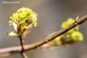 Zdjęcie Tygodnia. Pracująca pszczoła