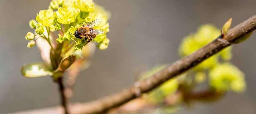 Pszczółka pracuje.