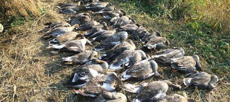 W zakazanej strefie, myśliwi z Włoch wybili prawie tysiąc ptaków