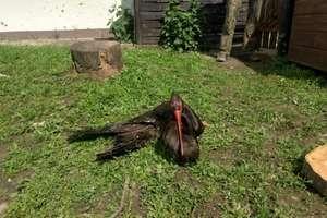 Czarny bocian leczy złamane skrzydło w Napromku