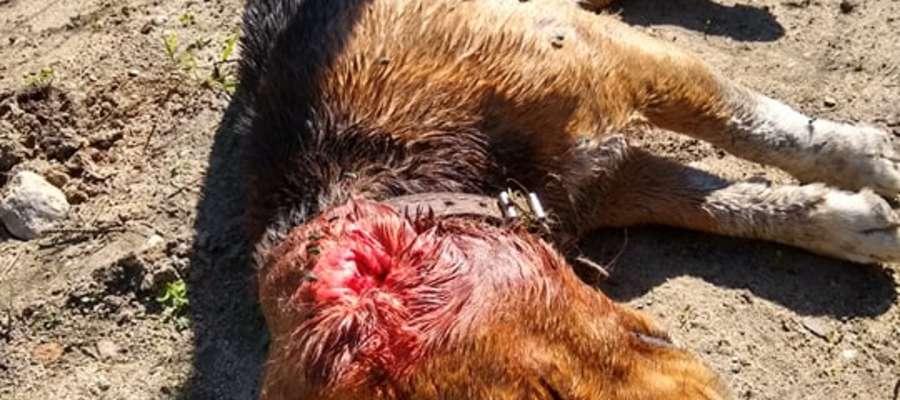 Zaatakowany pies jest w stanie krytycznym