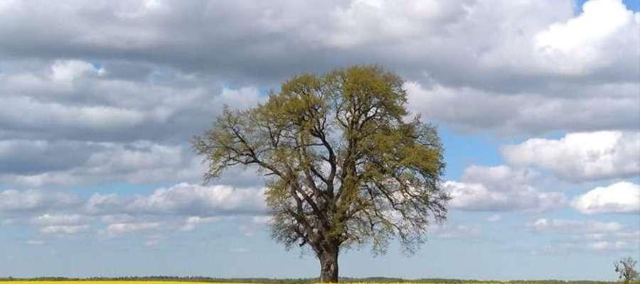 Dąb w kwitnącym rzepaku, w okolicy Łabędnika.