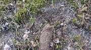 Niebezpieczne znalezisko na terenie Nadleśnictwa Róklas