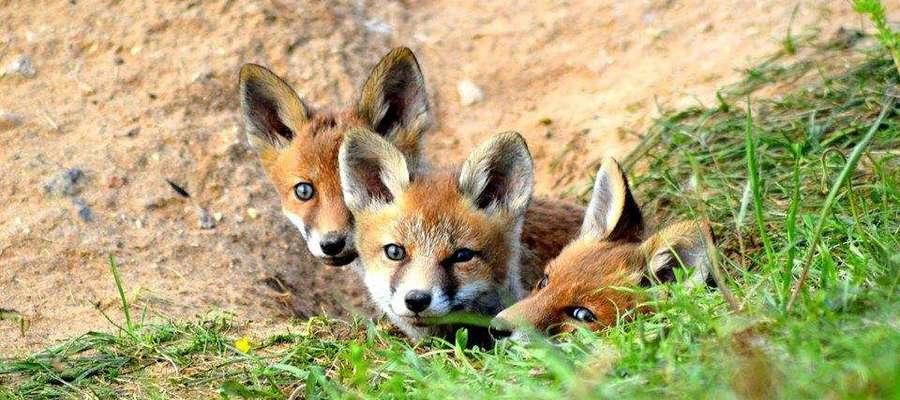 Troje ciekawskich rudzielców. Zdjęcie wykonane w okolicach Bisztynka.