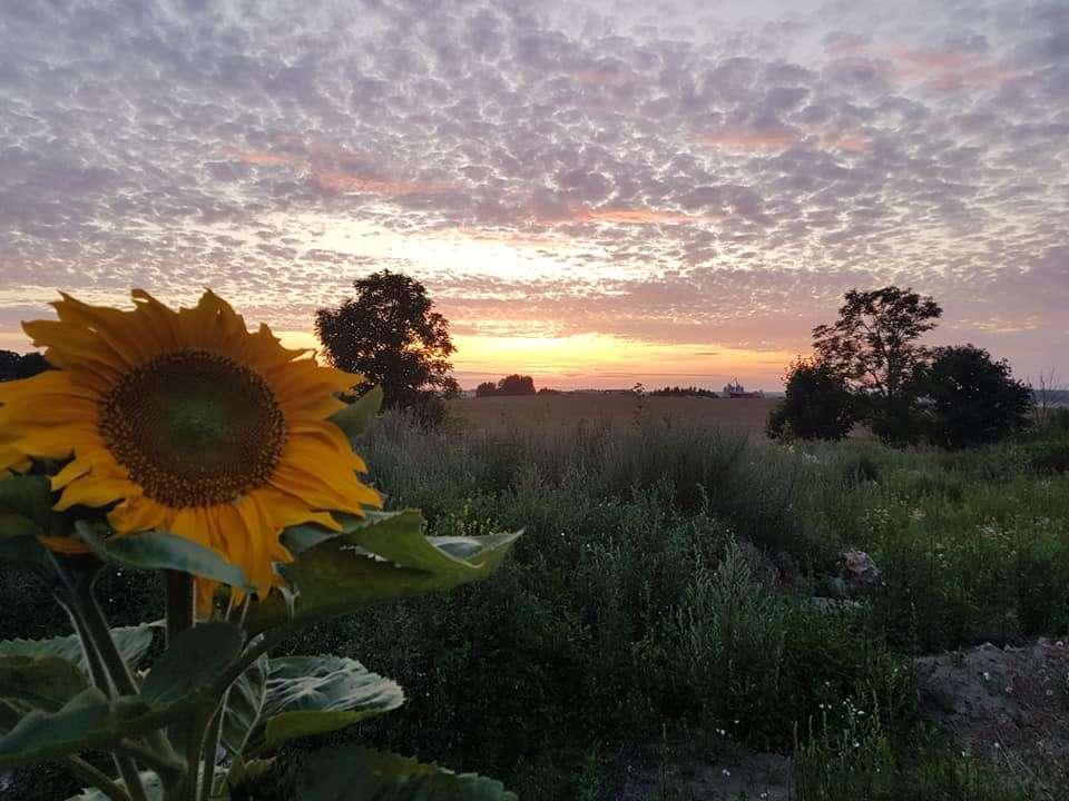 Samotny słonecznik o zachodzie słońca. - full image