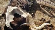 Uratowane zwierzęta ze Szczytna trafiły do ubojni