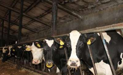 Jak ograniczyć stres cieplny u krów?