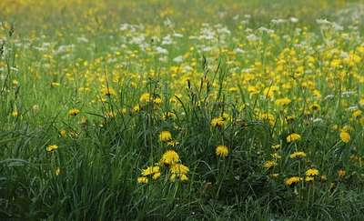 Łąki zamiast trawników w mieście