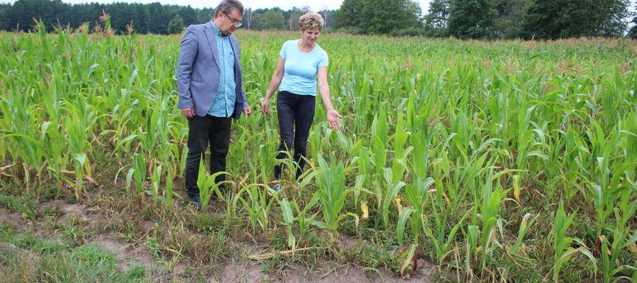 Katarzyna Kowalska pokazuje Witkowskiemu kukurydzę, która nie wydała w tym roku dobrego plonu