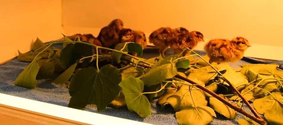 W Ośrodku Hodowli Cietrzewia Nadleśnictwa Spychowo wykluło się 25 młodych ptaków