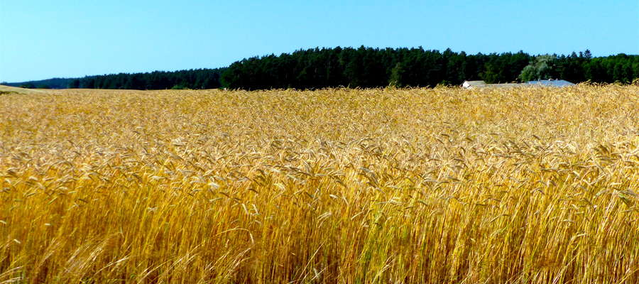 W 2018 roku na pomoc rolnikom dotkniętym suszą rząd przeznaczył dwa miliardy złotych